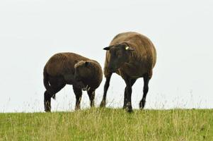 mouton noir photo