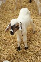 de nombreux agneaux à la ferme. photo