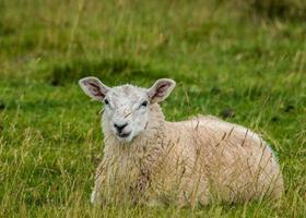 moutons dans les pâturages d'été photo