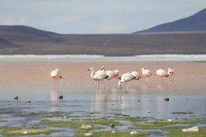 flamants roses sur le lac rouge, le lac salé, la bolivie