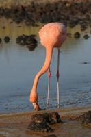 flamant américain (Phoenicopterus ruber)
