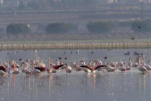 flamants roses (phoenicopterus) à laguna de calderon, moral de calatrava.