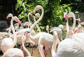 flamant rose au zoo