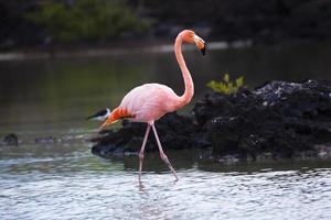 flamant rose caminando en laguna