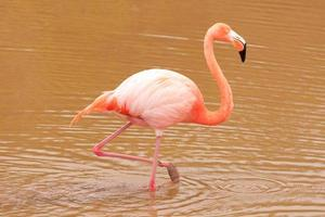 flamant rose (Phoenicopterus ruber)