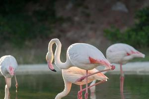 flamants roses dans un lac.
