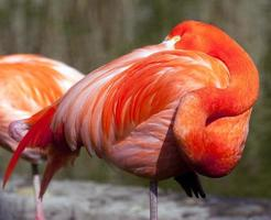 flamant américain - phoenicopterus ruber