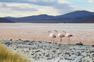 flamants roses sur le lac rouge, salar de uyuni, bolivie