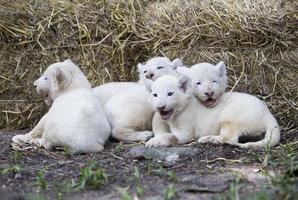 fierté des lionceaux blancs photo