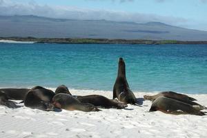 lions de mer se détendre sur la plage photo