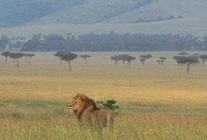 Lion dans la réserve nationale de Masai Mara, Kenya photo