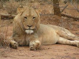 jeune lion 2 photo