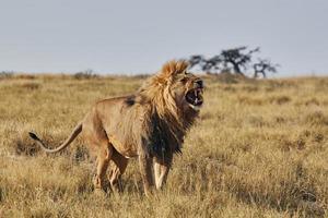 lion rugissant photo