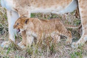 lion au Kenya photo