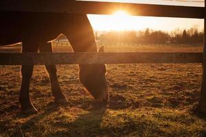 cheval paissant au coucher du soleil photo