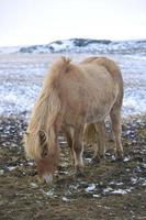 portrait, blond, islandais, cheval photo