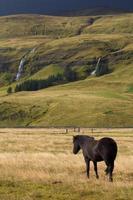 cheval islandais photo