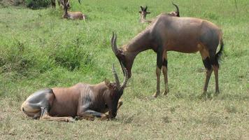 masai mara, kenia, topi, antilopes photo