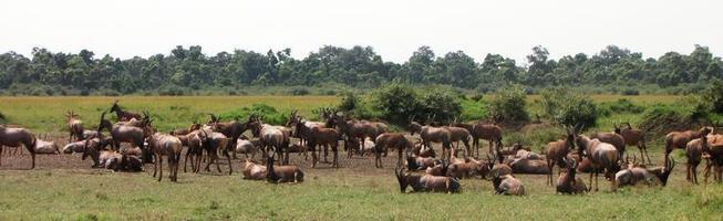masai mara - topis - antilopes photo
