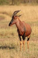 antilope topi photo