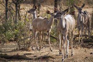 Nyala dans le parc national Kruger photo