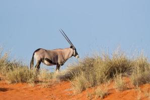 oryx photo
