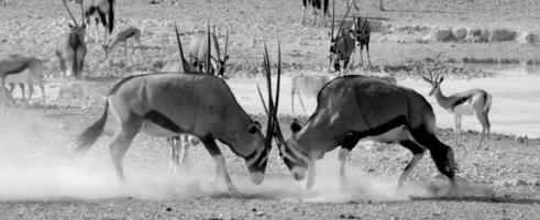 gemsbok lock horns photo