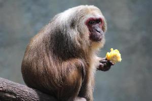 singe, manger du maïs photo