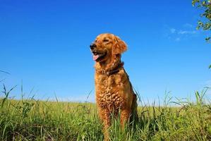 portrait de chien golden retriever photo