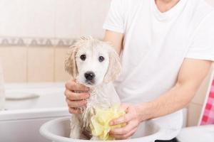 chiot golden retriever dans la douche