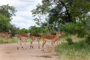 troupeau d'impala photo