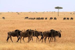 Masai mara wildebeast photo