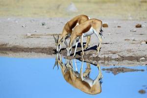 réflexion de la paire de springbok au bord de l'eau photo