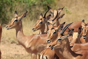 Impala Herde photo