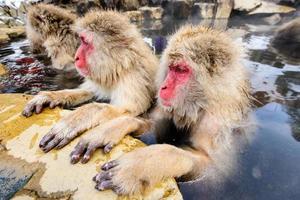 singes des neiges photo