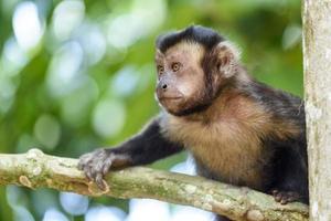 macaco prego photo