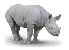 le rhinocéros blanc du nord. photo