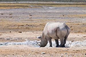 rhinocéros photo
