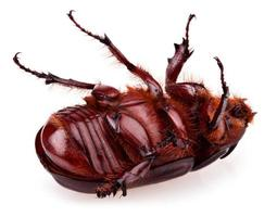 scarabée rhinocéros photo