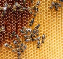 les abeilles photo