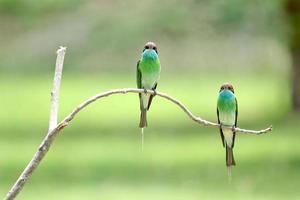 Guêpier à gorge bleue: merops viridis photo