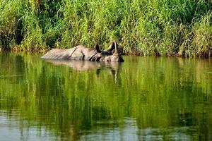 rhinocéros se baigne dans la rivière dans le parc national de chitwan