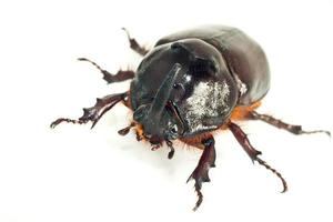 macro de rhinocéros ou scarabée licorne photo