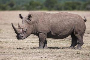 rhinocéros blanc paissant dans la nature, afrique