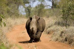 rhinocéros blanc photo