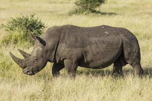 rhinocéros blanc (Ceratotherium simum) marchant photo