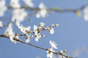 abeille sur une fleur de cerisier sauvage photo
