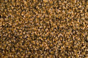 masse d'abeilles mellifères
