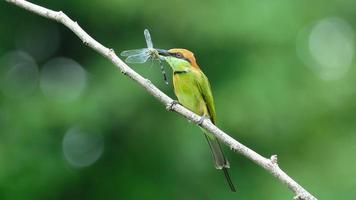 petite guêpière verte attrape une libellule dans le mont photo