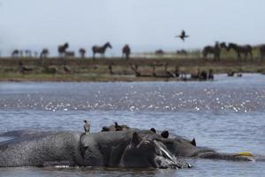 hippopotame photo